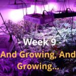 Cannabis Indoor Gardening #9 – And Growing, And Growing…