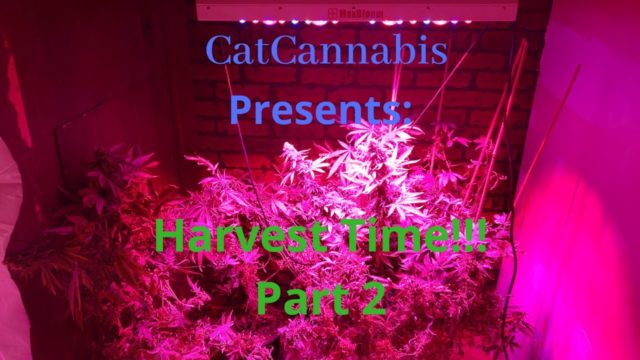 Cannabis Indoor Gardening #15 – Harvest Time! Part 2