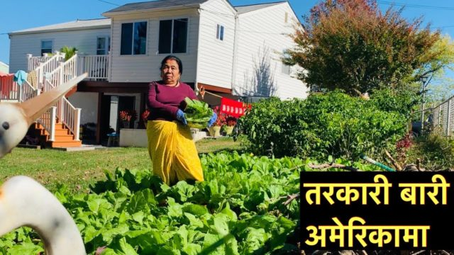 Backyard Vegetable  Gardening in USA | Grow like in Nepal || |