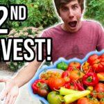 Bountiful Second HARVEST From the Organic Vegetable Garden 2018   LucasGrowsBest