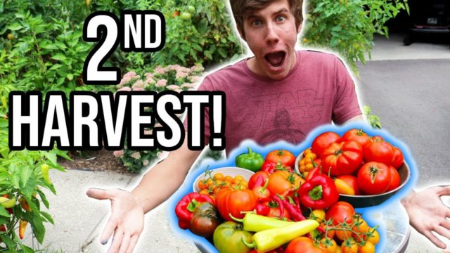 Bountiful Second HARVEST From the Organic Vegetable Garden 2018 | LucasGrowsBest