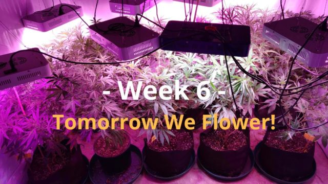 Cannabis Indoor Gardening #6 – We Flower Tomorrow!
