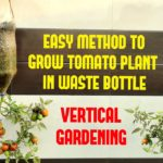 Easy Way To Grow Tomato Plant in Plastic Hanging Bottle| Vertical Gardening