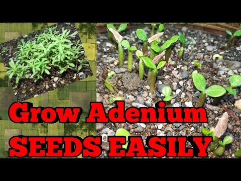 Best Soil Medium to Grow Adenium and Kochia seeds, 100% Germination Results with Full Update