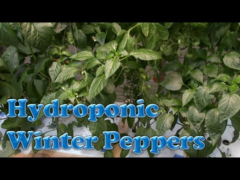 Hydroponic Winter Peppers (DWC)