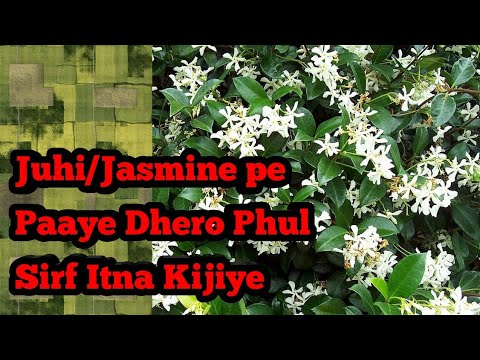 Agr Iss Tarah Fertilizer Doge Toh Juhi/Jasmine ka Podha Dega Dhero Phul