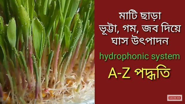 মাটি ছাড়া ঘাস উৎপাদন ll Hydroponic system ll cow and goat fodder production bangla.