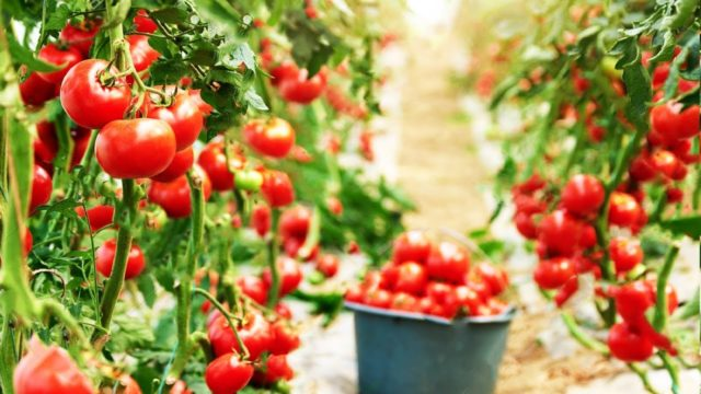 Amazing Greenhouse Tomatoes Farming – Greenhouse Modern Agriculture Technology