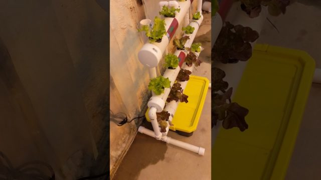Growing hydroponic tomatoes in Minnesota getting bigger