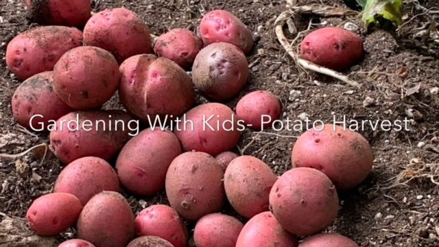 Gardening With Kids – Potato Harvest
