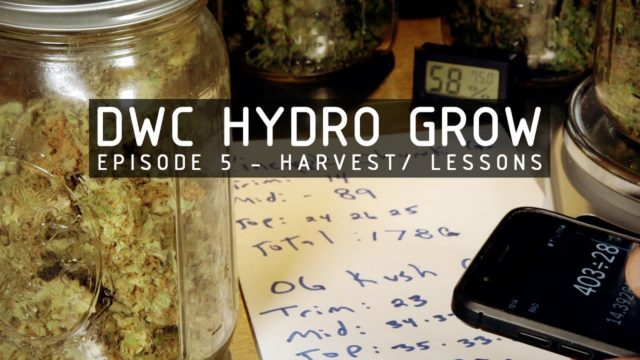 DWC Hydroponic Cannabis Grow Ep 5. Harvest & Cure