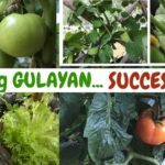 MUNTING GULAYAN! Balkon, Harap at Loob ng Bahay. SUCCESSFUL (GARDEN, GARDENING, VEGETABLE GARDEN)