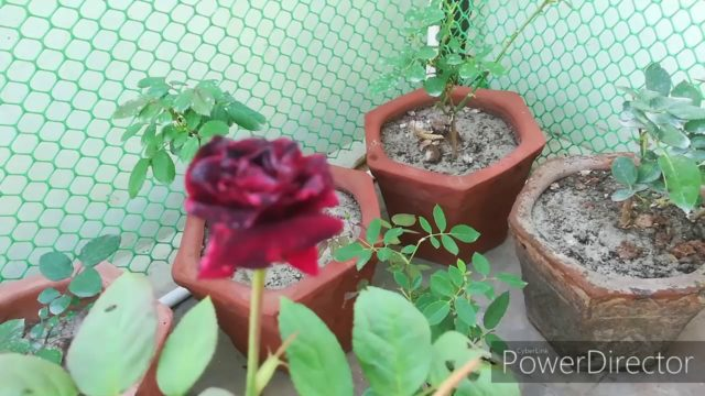 NEW PURCHASES  OF ROSES!! SUNDAY UPDATE GARDEN OVERVIEW 19/1/20