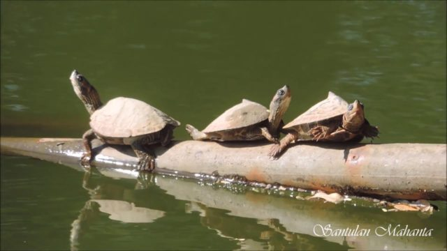 Indian Roofed Turtle (Pangshura tecta) Sunbathing