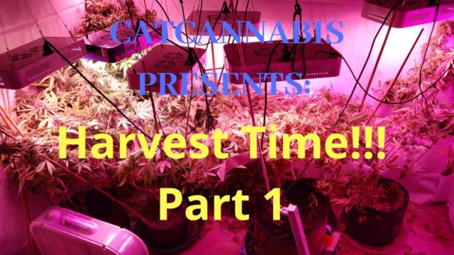 Cannabis Indoor Gardening #14 – Harvest Time! Part 1