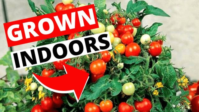 How To Grow Tomatoes Indoors | Indoor Gardening for Beginners