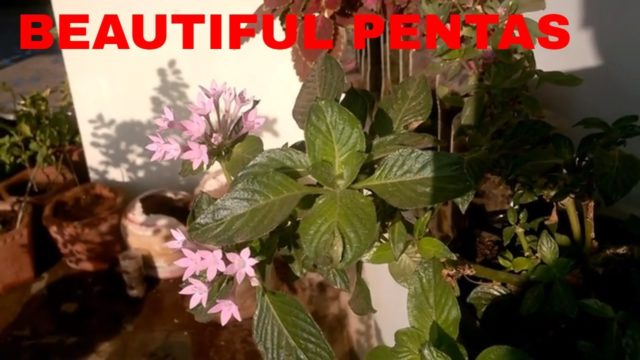 TIPS AND CARE TO GROW PENTAS FLOWER PLANT EASILY AT HOME