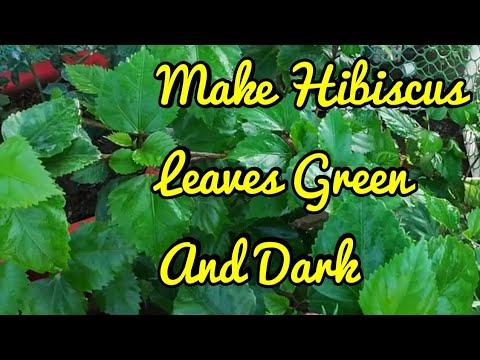 How to Make Hibiscus Leaves Green And Dark  Hibiscus के पत्तों को हरा भरा केसे बनाये   