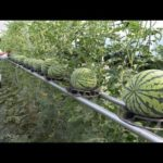 WOW! Strange Watermelon – Amazing Agriculture Technology