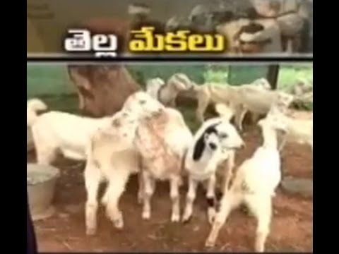 Malabar goat farming in Chittor district – జైకిసాన్ – on 4th October 2014