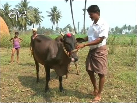 East Godavari  farmer take care of rear breed animals on 19th February 2014