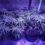 Aeroponics system cannabis grow 2/9