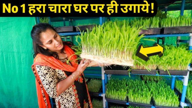 ये महिला ऐसे घर पर ही हरा चारा उगाती है|Hydroponic Fodder Farming System Price in india 9561621500