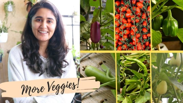 Vegetable Gardening: To avoid flower dropping in Chilli, Cucumber, Capsicum follow my suggestions