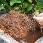 Aquaponics System Bed Clean & Mango Harvest