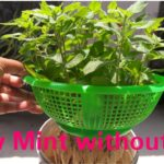 How to grow mint without soil/ Easiest method grow mint  from cutting /Mint hydroponic