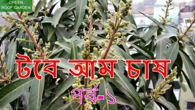 টবে আম চাষ পর্ব-১ (Mango in roof garden) Bangla