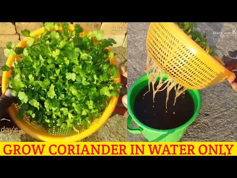 HOW TO GROW CORIANDER IN WATER | GROW CORIANDER WITHOUT SOIL | GROW CORIANDER HYDROPONIC
