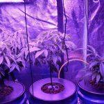 Aeroponics system cannabis grow  1/25