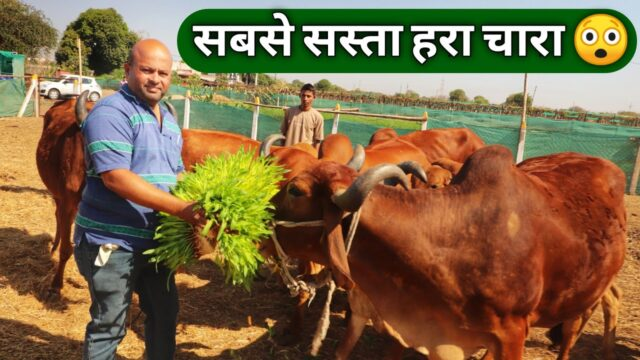 12 महीने होने वाला सस्ता चारा|Hydroponic Green Fodder for Dairy Farm in India 9561621500