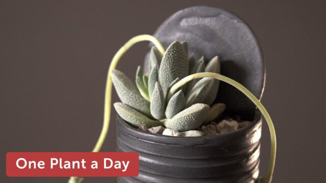 Crassula tecta (Lizard Skin Crassula) Houseplant Care – 348 of 365