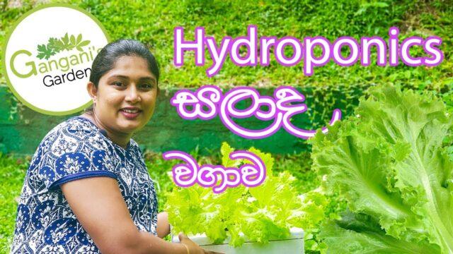 හයිඩ්රෝපොනික්ස් සාලද කොළ වගාව –  Hydroponics Salad Leaves Cultivation