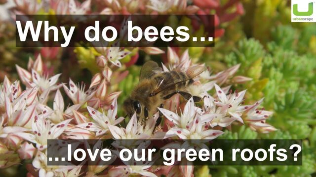 Why bees love Urbanscape green roofs