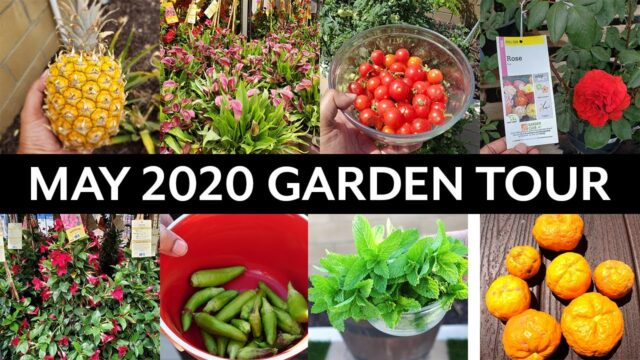California Gardening May 2020 Garden Tour – Vegetable and Fruit Trees Gardening Tips!