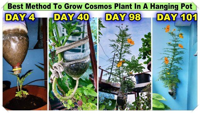 Best Method To Grow Cosmos Plant in Plastic Hanging Bottle ll Vertical Gardening ll No Space Garden