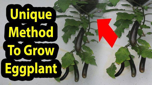 Best Method To Grow Eggplant in Plastic Hanging Bottle-Vertical Gardening