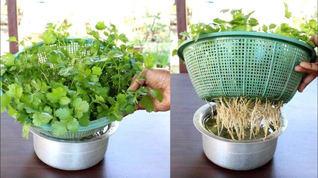 Grow Coriander at home in water; Dhaniya उगाने का सबसे आसान तरीका : Coriander in hydroponic system