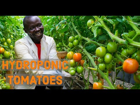 How To Harvest 500kgs of Hydroponic Tomatoes Per Week in Africa