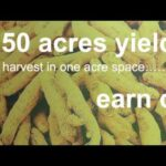 vertical turmeric farming