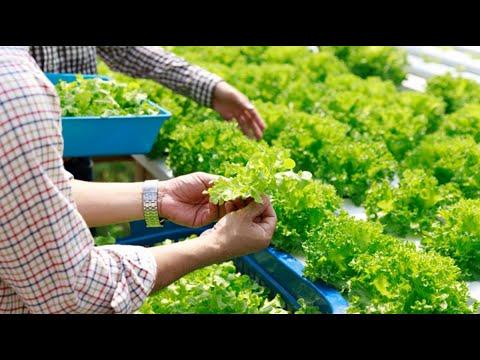 HYDRO FARMING ( Lettuce Farm)
