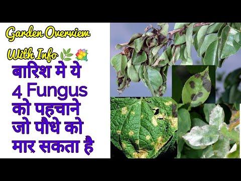 Sunday Update Garden Overviewएसे Fungus को पहचाने जो बारिश में पौधो को मार सकता है Identify Fungus