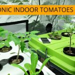 Hydroponic Tomatoes – Start Growing Indoors