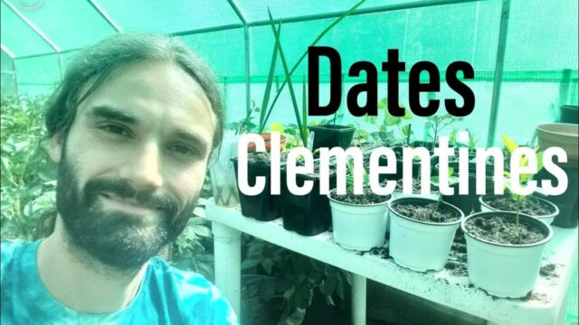 Medjool dates and Clementine seeds in the UK.