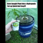 Store Bought Plant Right Into A Kratky Hydroponic Set Up Quick and Easy!