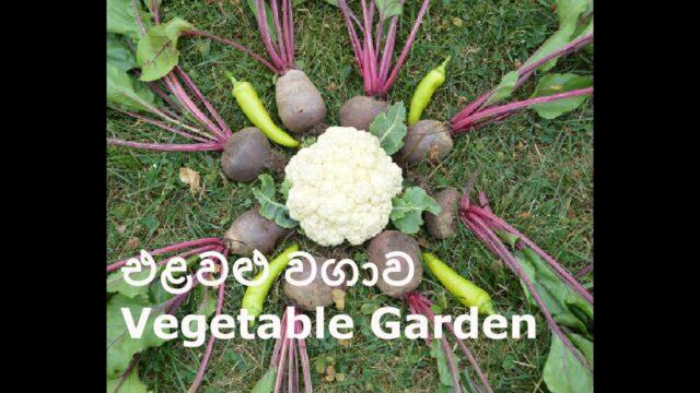 එළවළු වගාව  Vegetable Garden Episode – 05