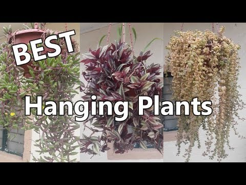 Best Hanging Plants in Philippine Weather (LOWLAND)